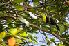 Keeled-Bill Toucan Enjoying His Lunch (jeff_a_goldberg) Tags: keeledbilltoucan sarapiqui naturalhabitatadventures winter nathab costarica heredia cr