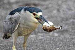 Hootie and the Blowfish (Darts5) Tags: blackcrownednightheron heron herons nightheron blowfish hootieandtheblowfish bird birds upclose 7d2 7dmarkll 7dmarkii 7d2canon closeup canon7d2 canon7dmarkll canon7dmarkii canon ef100400mmlll