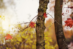 maple tree (Sabinche) Tags: autumn fall outdoor mapletree leaf autumnleaf bokeh hbw light nature