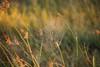 Early Morning Cobweb On Reeds (Barbara Evans 7) Tags: early morning cobweb botswana barbara evans7
