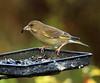 male greenfinch (bob the lomond) Tags: bobthelomond scotland gartocharn lochlomond greenfinch bird