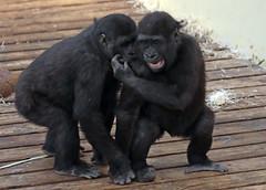 western lowlandgorilla Burgerszoo JN6A1500 (j.a.kok) Tags: gorilla westelijkelaaglandgorilla westernlowlandgorilla laaglandgorilla lowlandgorilla mensaap aap ape primaat primate monkey burgerszoo burgerzoo mammal zoogdier africa afrika
