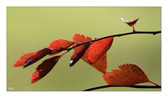 Feuillage d'automne (thierrymazel) Tags: paste leaf leaves automne autumn profondeur de champ