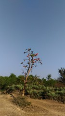 Red blossom (Rhivu_Ray) Tags: flower blossom floweringplant kharagpur hijli rhivu plant india nature beauty wish buteamonosperma flameoftheforest palash westbengal flameofjungle destiny