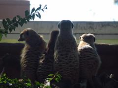 IMG_1332 (NapoleonIsNotDead) Tags: california united states san diego county zoo hakuna matata mongoose timon