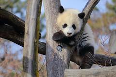 Fu Ban Climbing a Tree at Vienna Zoo (Tiergarten Schönbrunn) (Phil_Meier) Tags: giant panda grosser groser bear bär chinese bambus bamboo cute cuddly animal baby cub bärenjunges jungtier vienna zoo tiergarten schönbrunn wien