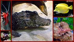 Blue Reef Aquarium (rustyruth1959) Tags: nikon nikond3200 tamron16300mm uk cornwall newquay bluereefaquarium aquarium collage shrimp peppermintshrimp fish yellowtang caiman sand glass dwarfcaiman yellow redknobstarfish aquatic wildlife photoborder