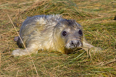 Newborn Cutie (Liz Liz Liz Liz) Tags: greyseal seal seaside newborn britain donnanook eos7d canon7d beach baby animal pup