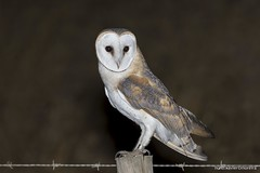 Coruja-das-torres, Barn Owl (Tyto alba) (xanirish) Tags: corujadastorres barnowltytoalbanunoxavierlopesmoreira ngc xfx35 national geographic wildlife nuno xavier moreira wwwvidaselvagemnoturnapt selvagem owls corujas birds prey night aves portugal lezirias rapina nocturnas noturnas xfx75 tytoalba barnowl commonbarnowl