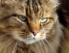 Portrait de chat (JMVerco) Tags: chat cat gatto portrait ritratto coth coth5 flickrchallengegroup
