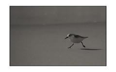 Jump - Sylt (www.creativ-pool.net) Tags: natur eco germany schärfentiefe vogel deutschland olympus bokeh bw korn kontrast esystem e30 abstrakt sw bird nature grain schwarzweis contrast eschweiler nrwnordrheinwestfalen deu