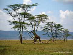 Girafa, Giraffe, Rothschild's giraffe (Vitor Estrela Santos) Tags: africa wild lake landscape kenya wildlife zebra beautifulpeople girafa nwn wildanimals beautifulnature sonydscv3 rothschildsgiraffe giraffacamelopardalisrothschildi beautifulworld qunia lakenakurunationalpark accia vitormes baringoorugandangirrafe