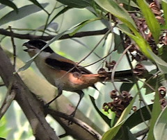 Bach Ma National Park area (asterisktom) Tags: tripvietnamaug2015 2015 august vietnam bachma nationalpark bachmanationalpark shrike longtailedshrike laniusschach bird vogel ave 鸟 niao птица 鳥