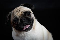 Timbits the Pug (Jen St. Louis) Tags: dog pet ontario canada studio elmira pug kitchener waterloo pawprints dogphotography petportrait timbits petportraits petphotography dogportrait jenstlouis wwwpawprintsphotosca