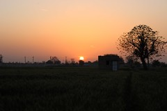 A #blazing #sky at #sunset over #wheat #fields in a #village #Pataudi #Haryana. #Nature #picoftheday #incredibleindia (Anil.Yadav1) Tags: sunset sky nature village wheat fields picoftheday blazing haryana pataudi incredibleindia
