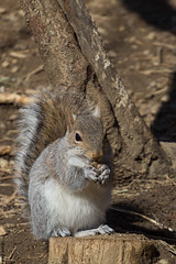 Squirrel (HendrikSchulz) Tags: usa animal animals canon tiere squirrel maryland baltimore northamerica february tier februar baltimorezoo 2015 animalphotography tierfotografie marylandzoo nordamerika canonef70200f4lusm zoophotography zoofotografie canoneos600d hendrikschulz hendriktschulz