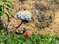 Olha o passarinho! (Márcio Vinícius Pinheiro) Tags: hummingbird sp beijaflor colibri hortensia binga hydrangeamacrophylla picaflor hortênsia serradamantiqueira bigleafhydrangea lacecaphydrangea maino chupaflor chupamel cuitelo guainumbi guanambi guanumbi guinumbi santoantôniodopinhal hidrângea mopheadhydrangea hidranja frenchhydrangea pennymac novelão matiqueiramountains