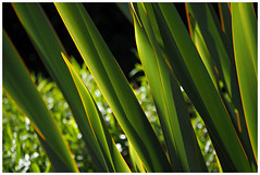 Otari- Wilton's Bush (whitebear100) Tags: newzealand nz wellington northisland flax otariwiltonsbush