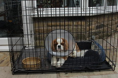 I fought the law and the law won (Bogart Cat) Tags: his after operation oadby kingcharlescavalier brownandwhitedog oadbydog