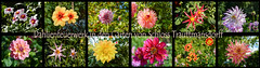 Freitagsblumen (*MRK*) Tags: sdtirol meran dahlien schlosstrauttmansdorff