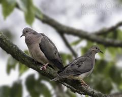 Eared Dove (karenmelody) Tags: bird birds animal animals ecuador dove doves vertebrate vertebrates columbidae columbiformes eareddove zenaidaauriculata nearquitosanjorgeecolodge