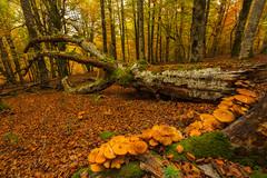 Setas (Alfredo.Ruiz) Tags: canon otoño alava seas haya polarizador ef1740 entzia eos6d