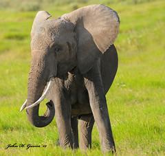 JHG_6435-b Young Elephant, Amboseli, Kenya. (GavinKenya) Tags: young elephant africanelephant amboselielephant amboseli amboselinationalpark amboselikenya kenya africa africa2015 safari2015 safari dk grand safaris dkgrandsafaris kenyaafrica kenyasafari africasafari africansafari wildlifephotography wildlife photography animal wild africanwildlife african june july 2015 mammal nature naturephotography photographer kenyawildlife john gavin johngavin johnhgavin