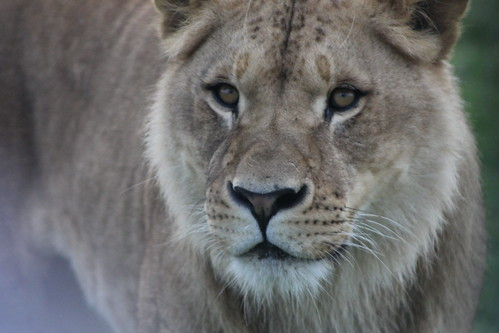 Lion (Monarto Zoo)