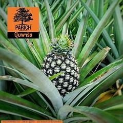 สับปะรดลูกใหญ่ด้วยปุ๋ยพาริช want some large tasty pineapple grown by PARICH fertilizer?