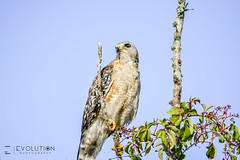 Red-shouldered Hawk (Evolution.Photography) Tags: nature hawk wildlife everglades raptors