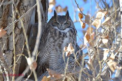 November 23, 2015 - This Great Horned Owl was in need of a nap. (Ed Dalton)