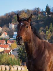 Herbstmorgen auf der Koppel (Knut Zyball) Tags: dresden tiere herbst pferde pillnitz pferdekoppel