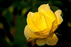 Rose jaune de novembre (Guy_D_2010) Tags: flower fleur rose yellow nikon bokeh flor ile blumen blomma quintaflower bunga  blume fiore blomst gul virg hoa bloem lill blm iek  kwiat blodyn   lule kukka d90   cvijet  blth cvet  zieds  gl kvtina kvetina floare vaural  languageofflowers   fjura   nikoniste pixelistes nikonfrance flowersarefabulous nikonflickraward  voninkazo