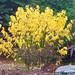 'Yellow Leaf' Dogwood