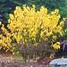 'Yellow Leaf' Dogwood