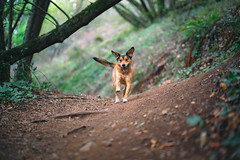 Trail runner (mtch3l) Tags: dog dogs perro perros animals pets puppy sony a7 fe alpha sonya7 za e animalplanet park ca california sf sanfrancisco chase oakland joaquin miller joaquinmiller joaquinmillerpark forest trail hiking trails trees leaves grass animal ears batdog running 18 f18 bokeh batis1885 batis 1885 woof dof depthoffield outdoor outdoors
