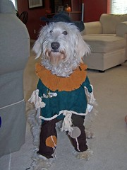 why-ginger-hates-halloween---she-is-always-such-a-good-sport-ginger-is-one-of-lilly-and-tobys-girls-_2959663463_o