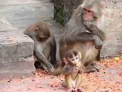 Holy Monkeys !! (john a d willis) Tags: nepal earthquake kathmandu hindu monkeytemple bhuddist macaque swayambhunath