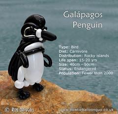 A-Z of Endangered Species – Galápagos penguin (magirob) Tags: bird endangeredspecies fish galapagos penguin underwater wwf