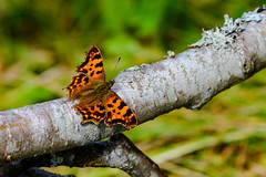 Resting (Rico the noob) Tags: dof bokeh nature d500 outdoor insect animal macro travel 300mmf4pf published 300mm animals closeup butterfly finland 2016