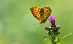 Silver-washed Fritillary (Argynnis paphia). (Bob Eade) Tags: butterflies lewes lepidoptera silverwashedfritillary eastsussex sussex macro micro butterfly fritillary summer bokeh insect nikond610 nature nikon wildlife woodland