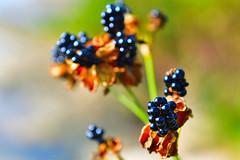 DSC_0695 (david linson) Tags: 美麗台灣 野花的種子 beautiful taiwan wildflower seeds