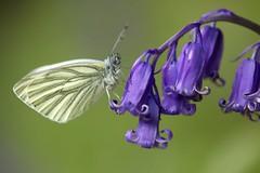 La piéride de la bryone, Pieris bryoniae  (1) (chug14) Tags: animal insecte lépidoptères lepidoptera pieridae piéridés pierinae pierini piéridedelabryone piéridedelarabette pierisbryoniae jacinthedesbois hyacinthoidesnonscripta