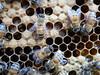 Closeup macro of European honeybee workers on capped brood and larvae comb (nicephotog) Tags: european honeybee bee apis mellifera comb brood hive beehive cell larvae closeup macro