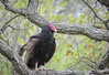 Watch and wait (BruceK) Tags: sidrabene turkeyvulture carrion