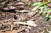 DSC_8285_LR (CharlieBro) Tags: 2016 arenal centroamerica costarica volcán volcánarenal agosto americacentrale animal animale august estate forest foresta lizard lucertola natura nature reptile rettile summer volcano vulcano