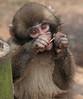 japanese macaque artis JN6A0738 (j.a.kok) Tags: makaak macaque japansemakaak japanesemacaque artis aap monkey primaat primate mammal japan azie asia