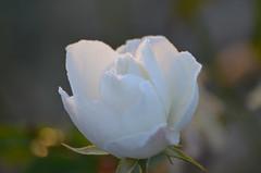 Christmas rose (dfromonteil) Tags: flower fleur rose white blanche nature plant plante macro bokeh gouttes droplets dew rosée morning matin light lumière