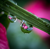 Flower Reflection's. (Omygodtom) Tags: contrast composition waterdrops raindrop flower flickr nikkor macro tamron tamron90mm nature nikon d7100 reflection refraction