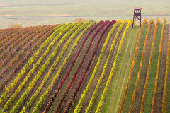 Stripes (Katka S.) Tags: moravia wine nature czech republic wineyard hill pattern parallel line lines stripes colour autumn colourful fall plant fotocompetition fotocompetitionbronze fotocompetitionsilver